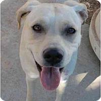 Adopt A Pet :: Jewel - Las Cruces, NM