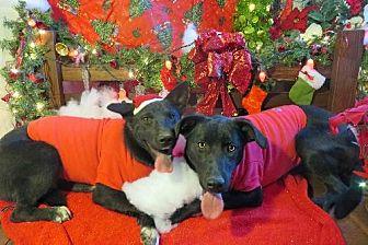 Labrador Retriever/Bull Terrier Mix Puppy for adoption in Sherman Oaks, California - Guri