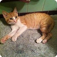 Adopt A Pet :: Sir Purrs Alot - Los Angeles, CA