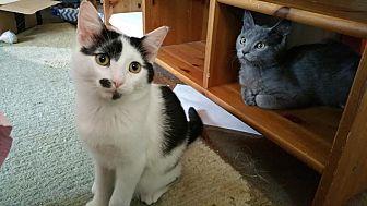 Domestic Shorthair Cat for adoption in Philadelphia, Pennsylvania - Paddy