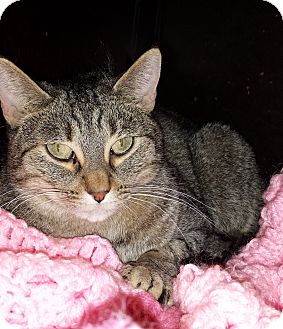 Domestic Shorthair Cat for adoption in Diamond Springs, California - Rafferty
