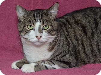 Domestic Shorthair Cat for adoption in Elmwood Park, New Jersey - Vinnie