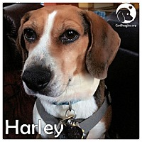 Adopt A Pet :: Harley - Pittsburgh, PA