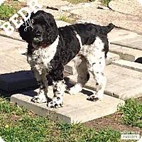 Springer Spaniel Mix Dog for adoption in Regina, Saskatchewan - Seamus