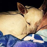 Chihuahua Mix Dog for adoption in Eagle Mtn, Utah - Luna