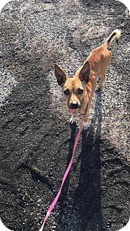 Chihuahua Mix Dog for adoption in McCurtain, Oklahoma - Homer