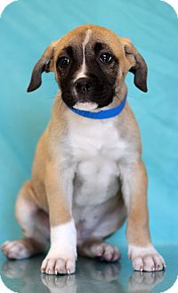 Shepherd (Unknown Type) Mix Puppy for adoption in Waldorf, Maryland - Edward