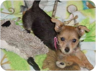 Yorkie, Yorkshire Terrier/Chihuahua Mix Puppy for adoption in West Palm Beach, Florida - Suki