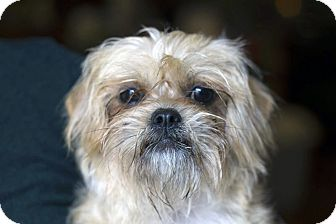 Brussels Griffon Mix Puppy for adoption in Chicago, Illinois - RACHEL