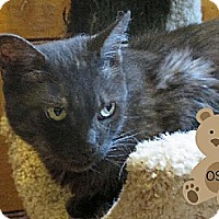 Domestic Longhair Cat for adoption in Sherman Oaks, California - Osa