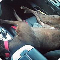 Adopt A Pet :: Kelsos Penelope - Knoxville, TN