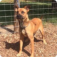 Adopt A Pet :: Bo - Indian Trail, NC