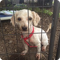 Adopt A Pet :: Lily - Fair Oaks Ranch, TX