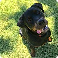 Adopt A Pet :: Coffee - Gilbert, AZ