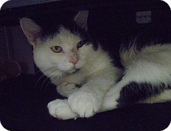 Domestic Shorthair Cat for adoption in Hamburg, New York - Pete