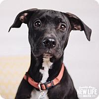 Adopt A Pet :: Ace - Portland, OR