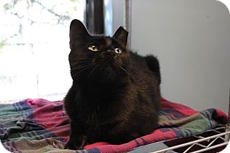Domestic Shorthair Kitten for adoption in Indianapolis, Indiana - Curious Georgette