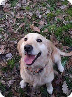 Golden Retriever Dog for adoption in Washington, D.C. - Emily