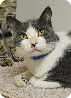 Domestic Shorthair Cat for adoption in Springfield, Illinois - Ty