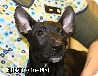Australian Shepherd/Pit Bull Terrier Mix Puppy for adoption in Tiffin, Ohio - Frosty