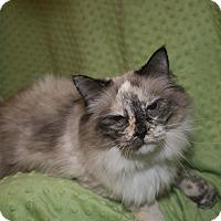 Ragdoll Cat for adoption in Columbus, Ohio - Bella Boo Boo