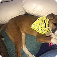 Adopt A Pet :: Clover - Maryville, IL