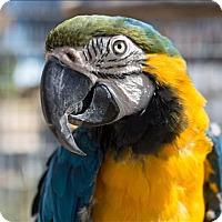 Macaw for adoption in Elizabeth, Colorado - Rudy