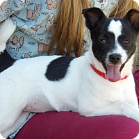 Chihuahua/Papillon Mix Puppy for adoption in Williamsport, Maryland - Bellablue (8 lb) Happy Girl