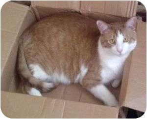 Domestic Shorthair Cat for adoption in Colorado Springs, Colorado - Joe