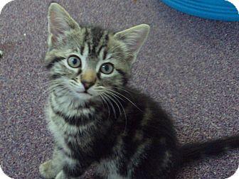 Domestic Shorthair Kitten for adoption in Memphis, Tennessee - Zoe