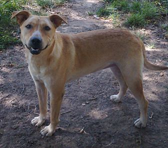 Labrador Retriever/Shepherd (Unknown Type) Mix Dog for adoption in Shawnee, Oklahoma - Sooner