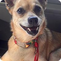 Adopt A Pet :: Foxy - Salem, OR