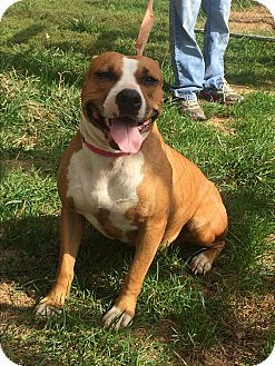American Staffordshire Terrier Mix Dog for adoption in Hatfield, Pennsylvania - Circei