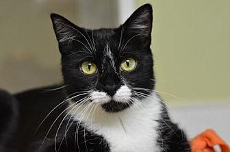 Domestic Shorthair Cat for adoption in Atlanta, Georgia - Carly 160716