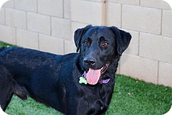 Labrador Retriever Puppy for adoption in Litchfield Park, Arizona - Travis