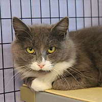 Maine Coon Cat for adoption in Flemington, New Jersey - Peaches