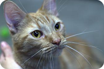 Domestic Shorthair Cat for adoption in Fremont, Nebraska - Jax