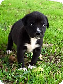 Pit Bull Terrier/Labrador Retriever Mix Puppy for adoption in Wichita Falls, Texas - Anna