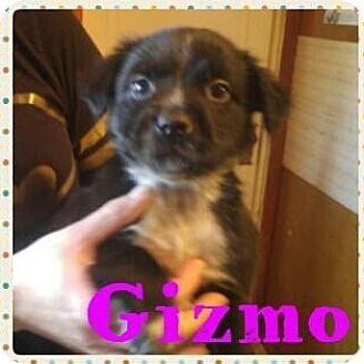 Australian Cattle Dog/Pit Bull Terrier Mix Puppy for adoption in Wichita Falls, Texas - Gizmo