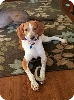 Hound (Unknown Type) Mix Dog for adoption in Fredericksburg, Virginia - Maisey