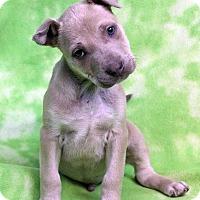 Adopt A Pet :: EVEREST - Westminster, CO