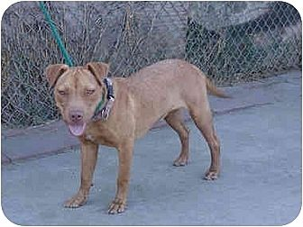 American Staffordshire Terrier/American Pit Bull Terrier Mix Dog for adoption in West Los Angeles, California - Hannah