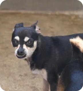 Chihuahua/Chihuahua Mix Dog for adoption in Vancouver, British Columbia - Catrin