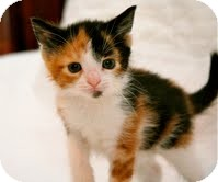 Calico Kitten for adoption in East Brunswick, New Jersey - Amber