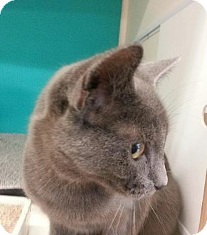 Russian Blue Kitten for adoption in Germantown, Maryland - Jeremy - At Petco