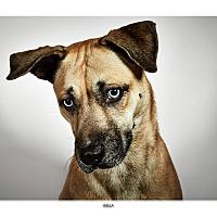 Adopt A Pet :: Bella - New York, NY