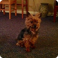 Yorkie, Yorkshire Terrier Mix Dog for adoption in Guelph, Ontario - Gryffin *Adoption Pending*