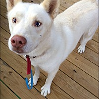 Husky Mix Dog for adoption in North Haledon, New Jersey - Tycoon