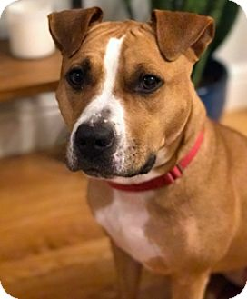 American Pit Bull Terrier Dog for adoption in Fulton, Missouri - Gianna - Massachusetts