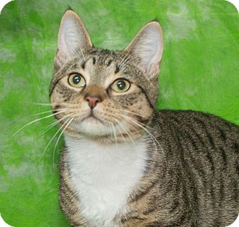 Domestic Shorthair Kitten for adoption in Elmwood Park, New Jersey - Andy